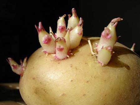 Chọn và bảo quản khoai tây